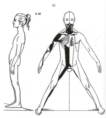 antero-mediane spierketting